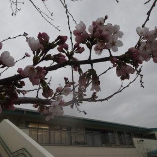 桜が咲きました…